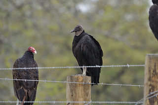 Turkey Vulture and Black Vulture | by kttyhwkr