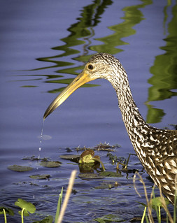 110402_SRP7D_-_MG_7619 Limpkin2 | by Steve Russell Photography