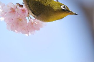 Japanese White-eye | by myu-myu