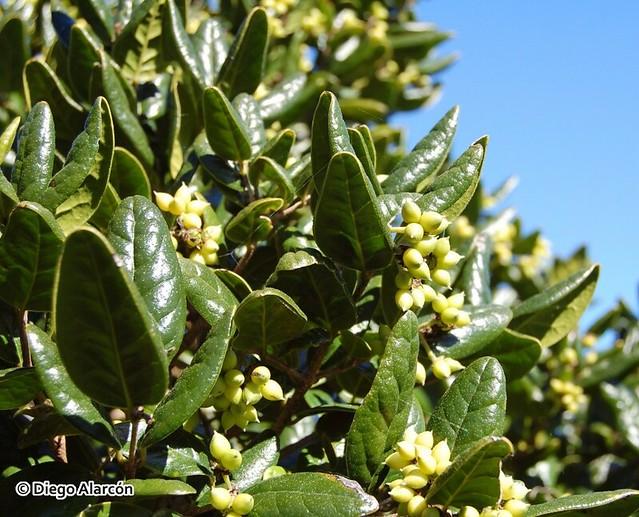 Follaje y frutos de Peumus boldus