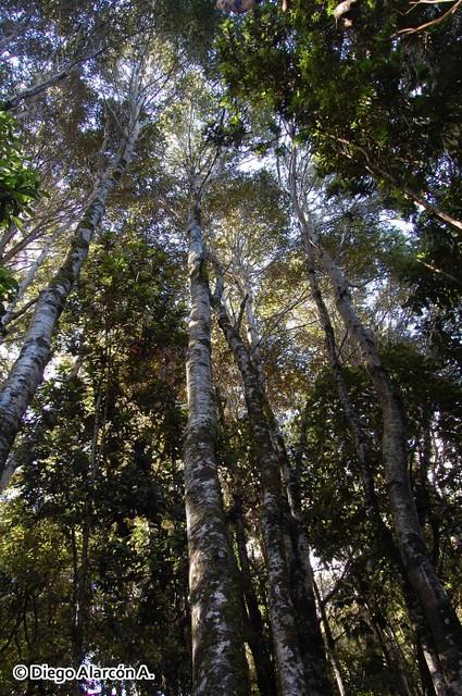 Rodal de Coihue de Chiloé, Nothofagus nitida
