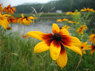 Rudbeckia | by Great Glen Trails