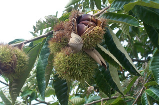 Chinese Chestnuts 01 | by Auburn University