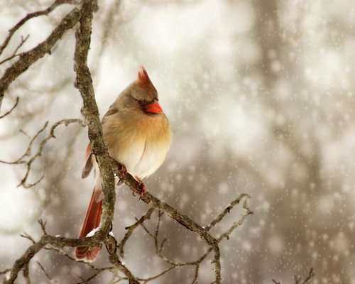 Female cardinal in snow bokeh | by K.Young Photography