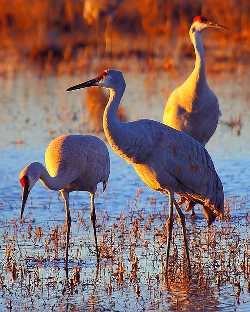 IMG_7095 Sandhill Cranes, Sunset, Bosque del Apache NWR