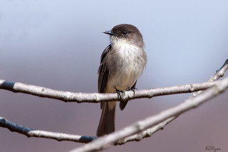 Eastern Phoebe | by Kelly Colgan Azar