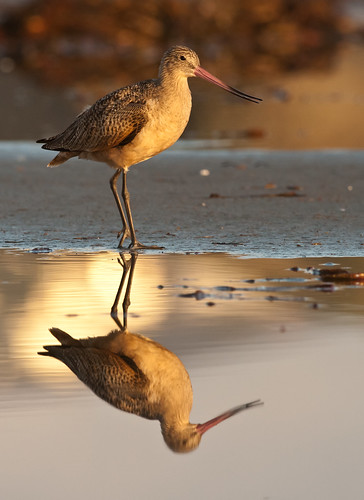 Marbled Godwit, Limosa fedoa, a large shorebird in a lagoon  (tighter crop) | by mikebaird