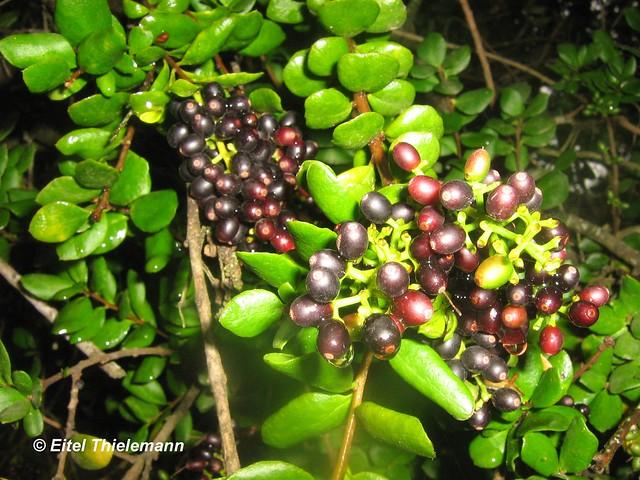 Notanthera heterophylla