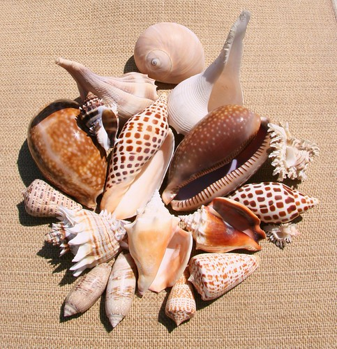 Shells from Florida's Gulf of Mexico | by Tropic~7