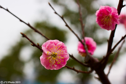 Plum Blossom II | by J.^2