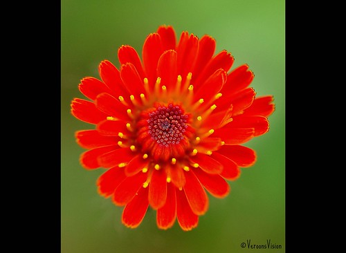 - Red flower - | by Veronica Van Peet | Photography