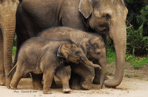 Baby Elephants | by Peter R. Cannon
