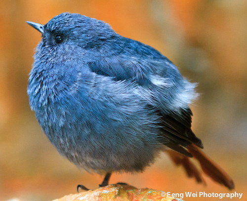 Angry Bird, Blue Edition (v2) | by Feng Wei Photography