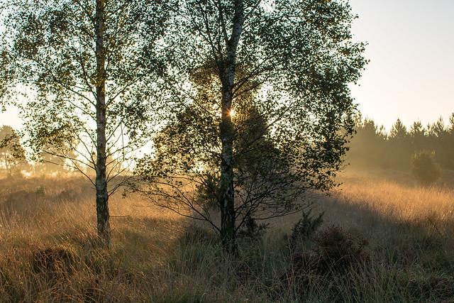 Sunrise with Birches