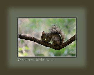 Squirrel napping on a vine | by sanskritlady