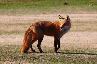 Red Fox at Hains Point 2 | by Mr.TinDC