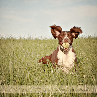 Springer Spaniel | by Laura L. Ruth