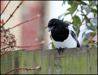Magpie on my fence | by Judy's Wildlife Garden