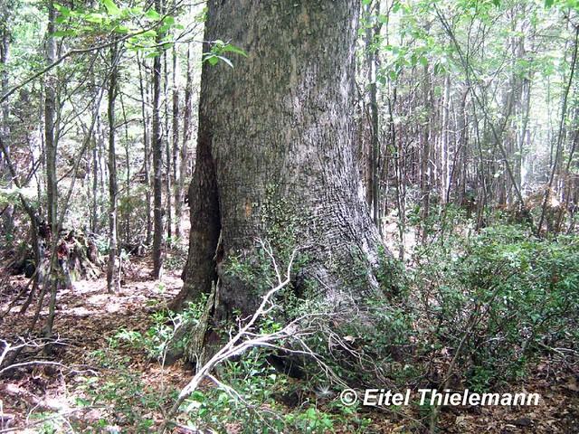 Nothofagus alpina tronco