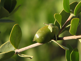 Jojoba Nut | by treegrow