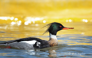 Red-breasted Merganser | by Kim Taylor Hull
