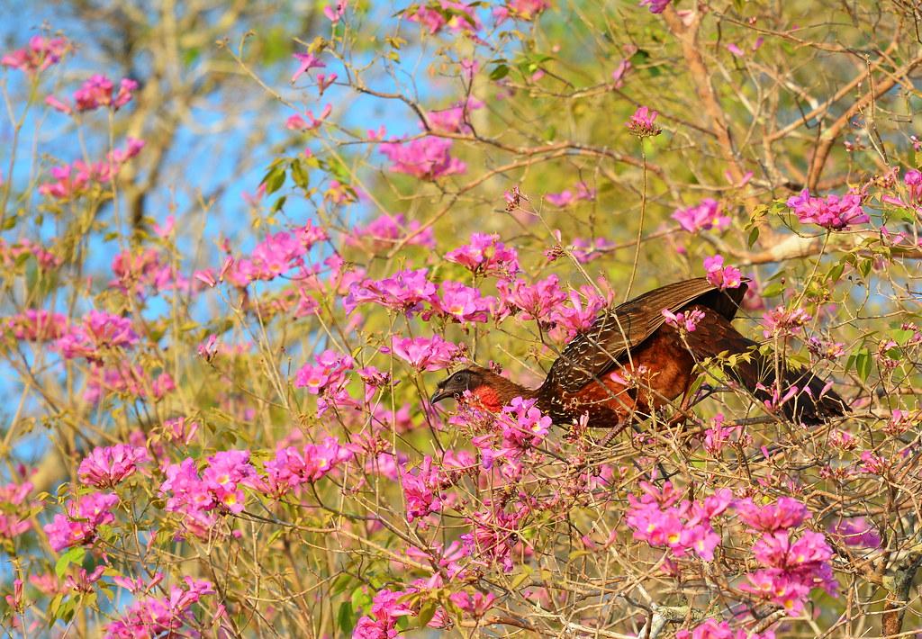Pénélope à ventre roux/Chesnut-bellied guan