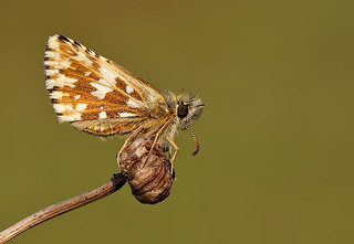 Grizzled Skipper | by nigel kiteley2011