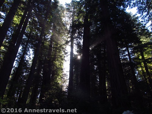 Sunlight filters through the tall trees in the Lady bird Johnson Grove, Redwood National Park, California