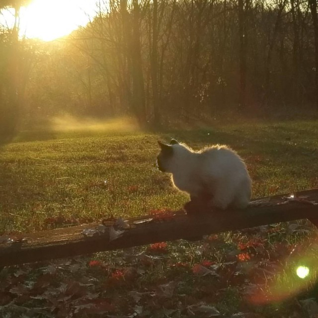 The rain stopped and the sun came out.   #nofilter #naturalbeauty #fall #aftertherain #autumnsunshine #sun #siamese #catsofinstagram #siamesecat #backyard #autumn #cat #cats #suchadiva #kitteh #divakitty #beautifulday #swva #southcentralva #bedfordcountyv