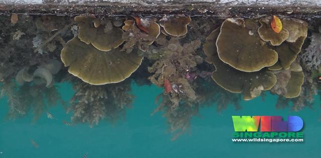 Corals growing on pontoon at Marina Keppel Bay