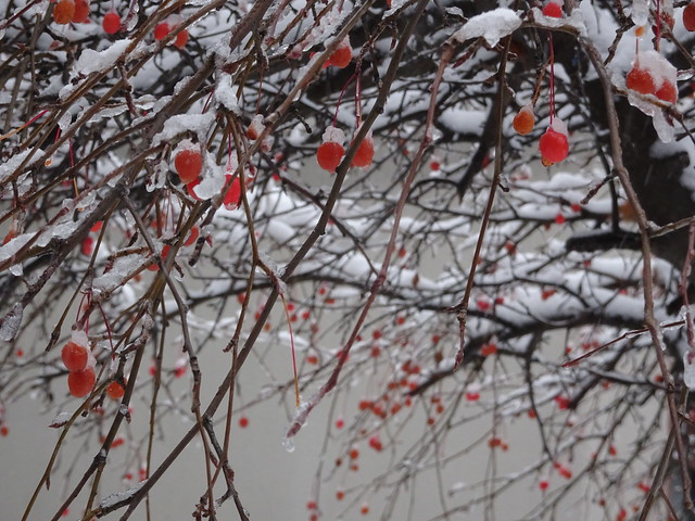 Crab Apple in the Snow