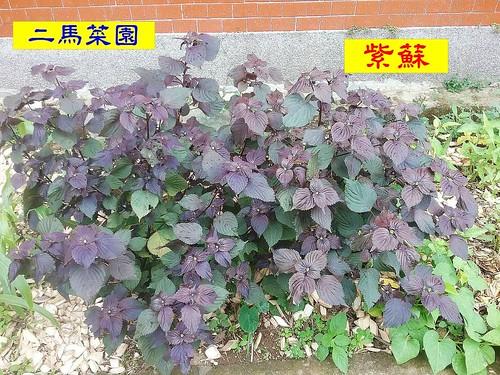015.紫蘇
