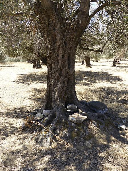 un olivier pour s'asseoir