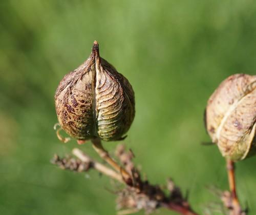 Hesperaloe parviflora 17494756751_0c4a1e1141