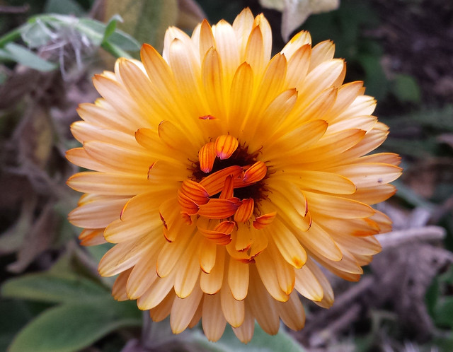 bright orange flower with the petals in the very center not unfolded yet