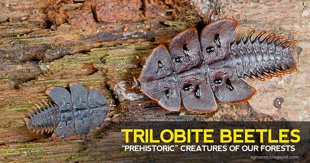 "Trilobite Beetles - ""Prehistoric"" Creatures of our Forests"