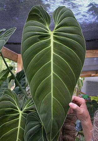 Philodendron melanochrysum enid