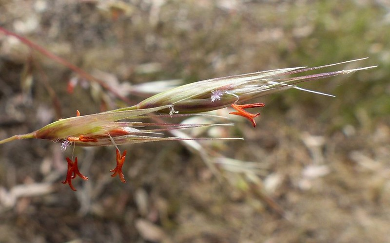 Rytidosperma pallidum - Red-anther Wallaby Grass