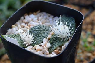 DSC_4440 Massonia pygmaea  マッソニア ピグマエア SE Leliefontein