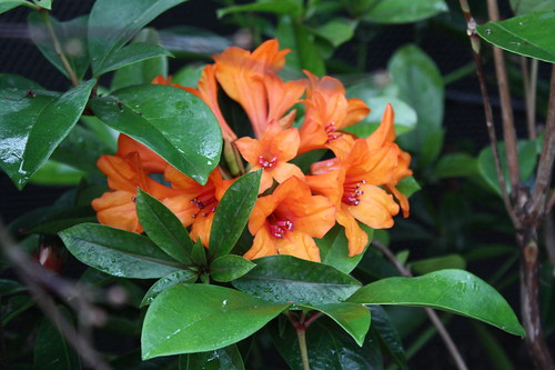 Rhododendron inferno