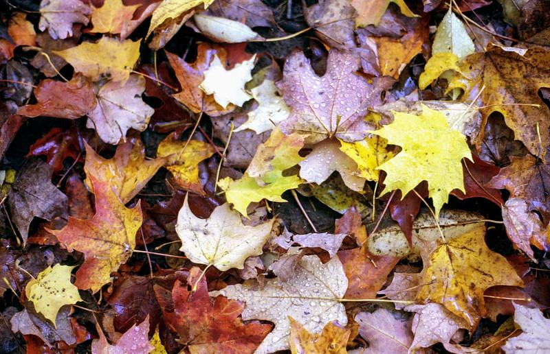 Fallen Leaves_