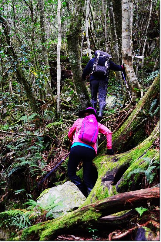 巨木群登山步道 2
