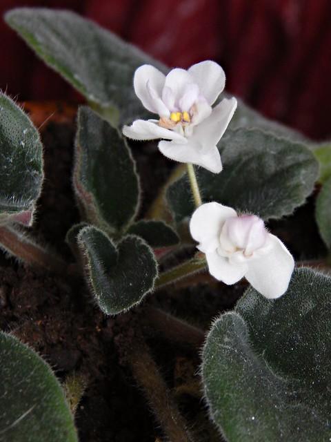 Бело-розовая фиалка | White and pink African violet