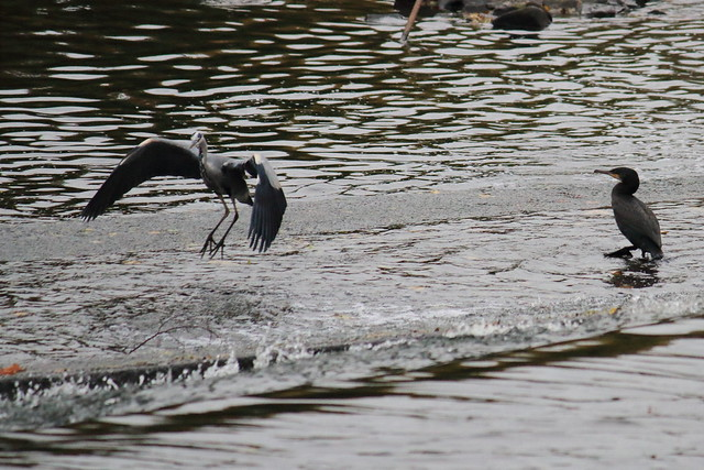 Juvenile Cormorant and Grey Heron at the weir Saltaire