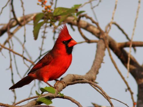 Northern Cardinal in Trema tree 2-20131228