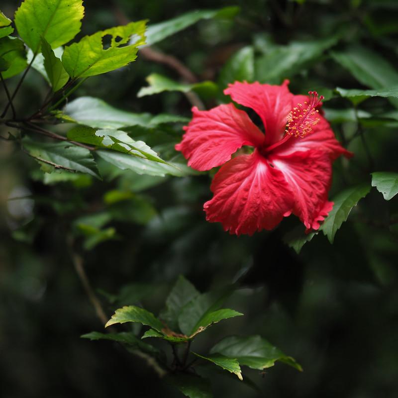 扶桑花|Olympus 25mm f1.2 PRO