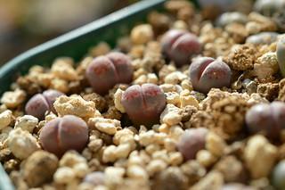 DSC_4490 Lithops salicola 'Bacchus'   リトープス バッカス
