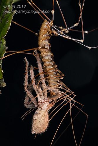 Scutigeridae IMG_4527 copy