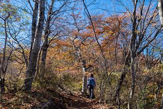 ブナの大木を眺めながら登る