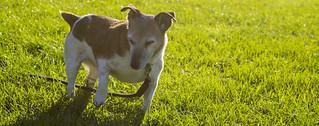 Sunset Beagle